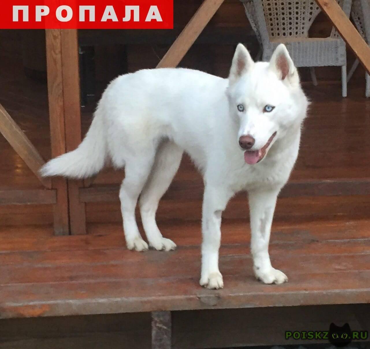 Пропала собака хаски г.Полевской