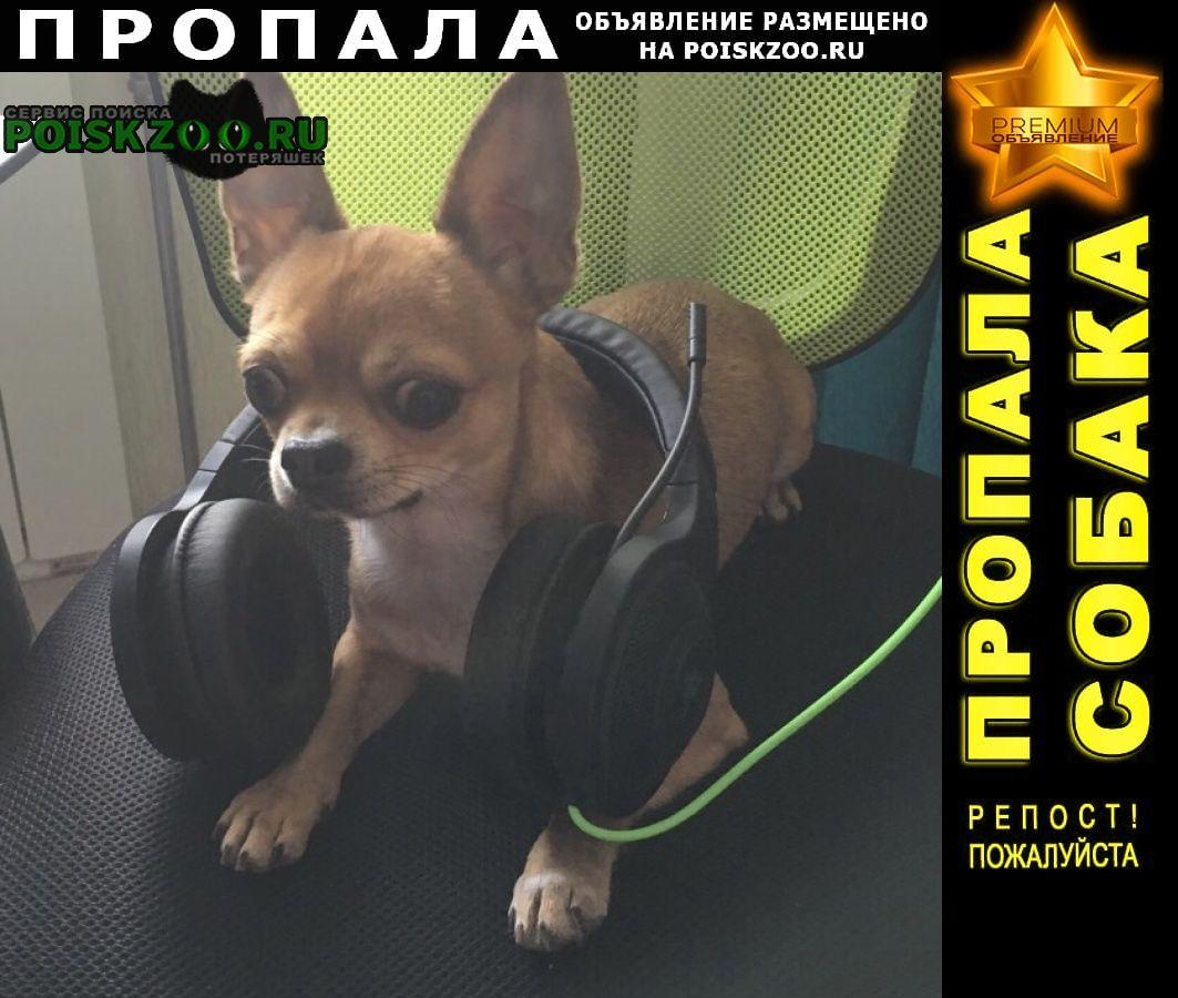 Пропала собака порода чихуахуа Чита