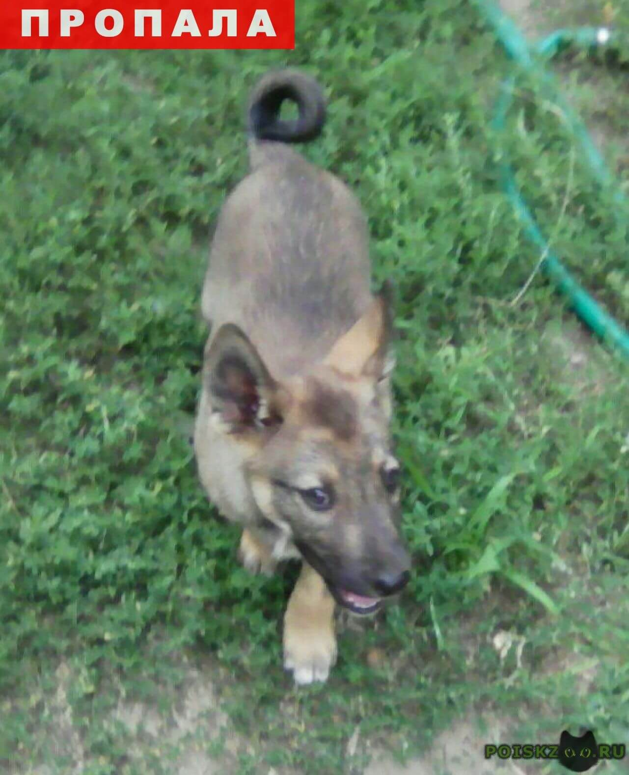 Пропала собака кобель щенок 4 месяца г.Энгельс