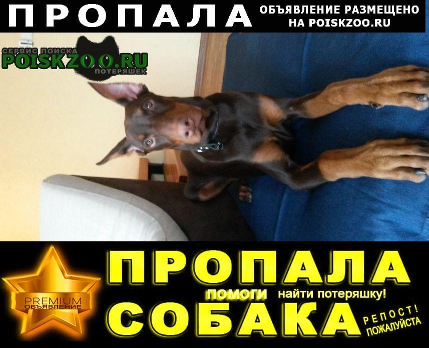 Пропала собака доберман, мальчик, кличка рэм Красноярск