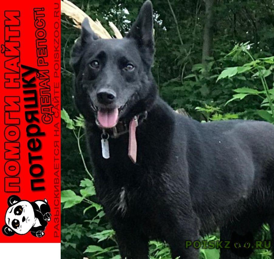 Пропала собака лайкообразная, метис г.Москва