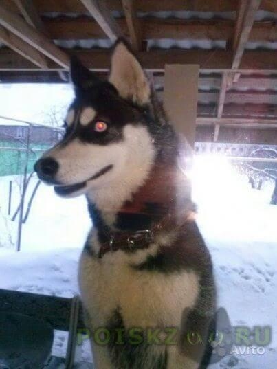 Найдена собака хаски г.Саратов