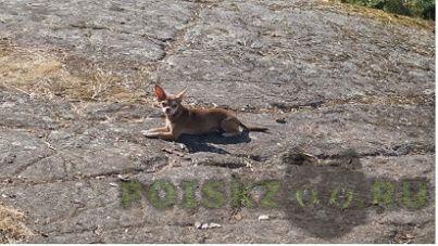 Пропала собака породы чихуахуа г.Санкт-Петербург