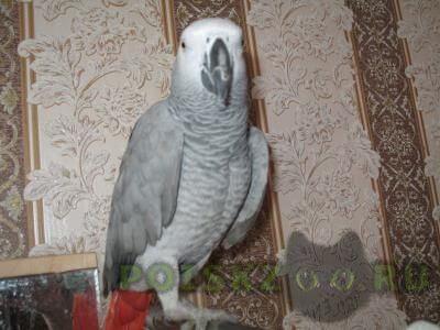 Пропал попугай краснохвостый жако г.Воскресенск