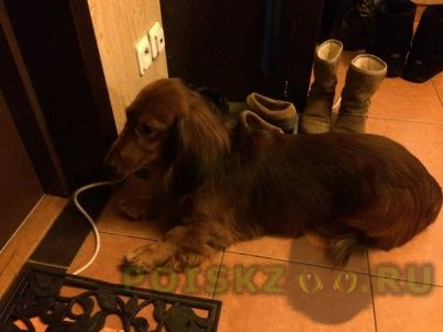 Найдена собака кобель такса длинношерстная г.Санкт-Петербург