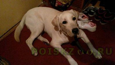 Найдена собака кобель лабрадор, преображенское 10.10.2015 г.Москва