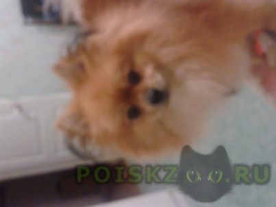 Пропала собака кобель шпиц. г.Саратов