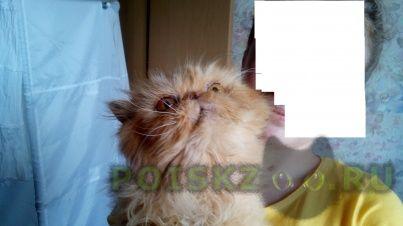 Найдена кошка порода персидская эксклюзивная. стерилизована. г.Краснодар
