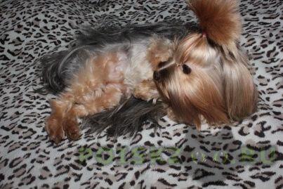 Пропала собака потерялась йорк девочка, с обвисшими ушками, без клейма г.Саратов
