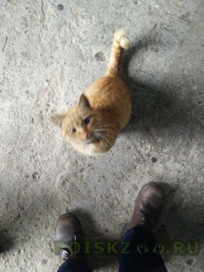 Найден кот рыжий г.Липецк