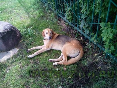 Найдена собака кобель г.Покров