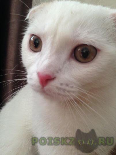Пропал кот, шотландский вислоухий г.Климовск