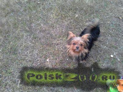 Пропала собака йорк-терьер г.Павловский Посад
