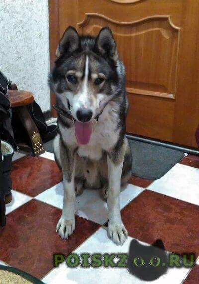 Найдена собака кобель породы лайка 4 года г.Тула