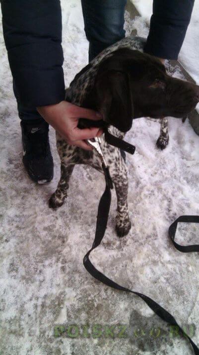 Найдена собака сука курцхаара г.Пенза