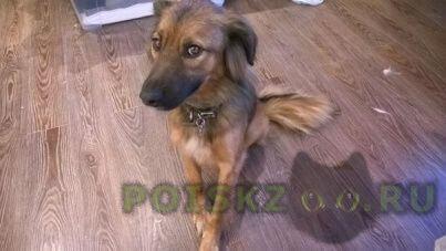 Пропала собака дворняжка, рыжая, некрупная (по колено или чуть ниже), новая москва г.Троицк