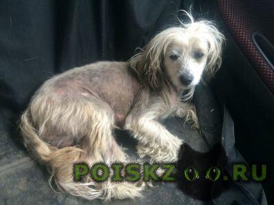 Найдена собака кобель кхс г.Казань