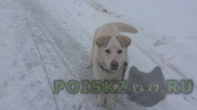 Пропала собака кобель белый пес г.Лобня