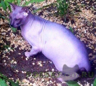 Пропал кот сфинкс г.Екатеринбург