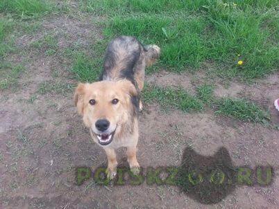 Найдена собака высокая рыжая в ошейнике ферпласт Дмитров