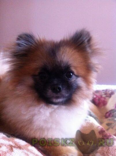 Пропала собака пробала г.Ростов-на-Дону