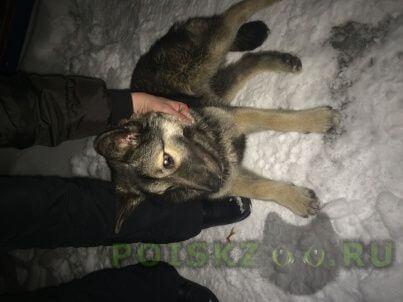 Найдена собака метис овчарки г.Королев