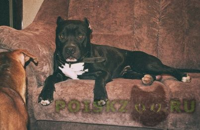 Пропала собака кобель 15.12.15  питбуля г.Ногинск