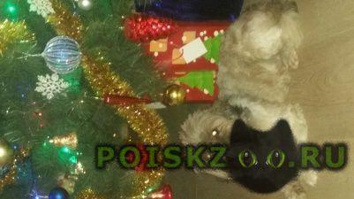 Пропала собака кобель ши тцу г.Подольск