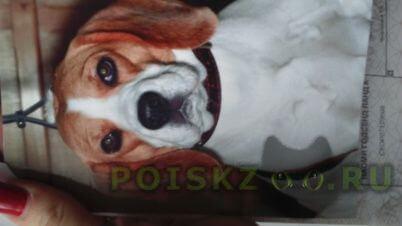 Пропала собака порода бигль девочка г.Ростов-на-Дону