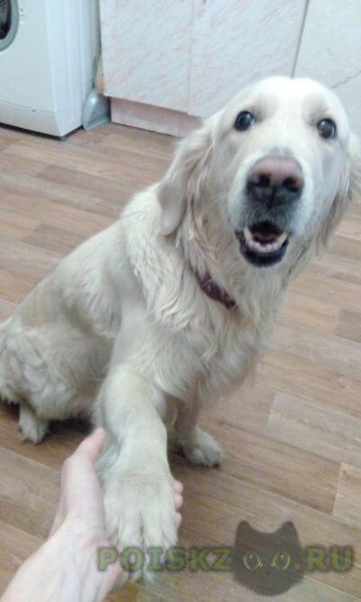 Найдена собака золотистый ретривер г.Сургут