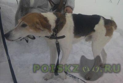 Пропала собака г.Мещовск