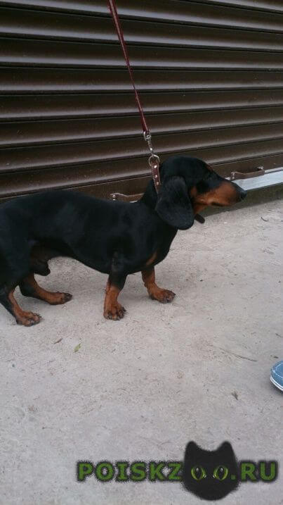 Найдена собака кобель такса г.Краснодар