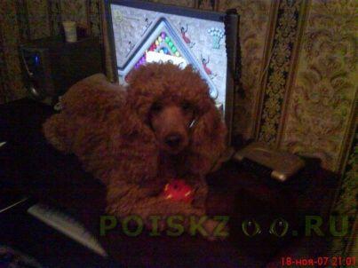 Пропала собака кобель пудель г.Калининград (Кенигсберг)
