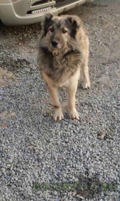 Найдена собака кобель, похожая на овчарку г.Владивосток