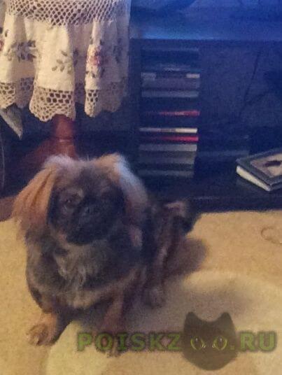 Пропала собака кобель пекинес г.Красногорск
