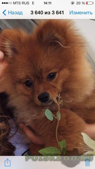 Пропала собака кобель шпиц песочного цвета г.Челябинск