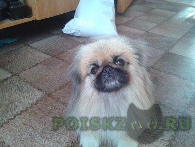 Найдена собака кобель пекинес г.Ульяновск