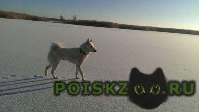 Пропала собака кобель порода - западно-сибирская лайка г.Средняя Ахтуба