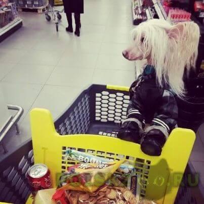 Пропала собака кобель китайская хохлатая. кличка мэлон г.Москва