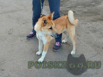 """Найдена собака девочка (сука), рыже-белая, белые """"носочки"""", уши стоят, хвост колечком г.Ногинск"""