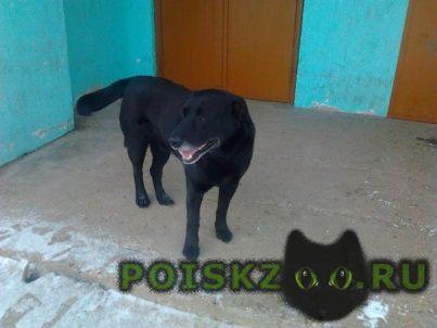 Найдена собака кобель черный метис лабрадора приметы седая мордочка хромает на передние лапы. г.Тверь