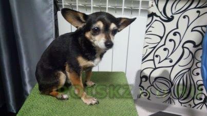 Найдена собака кобель г.Новосибирск