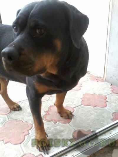 Найдена собака ротвейлер г.Владикавказ