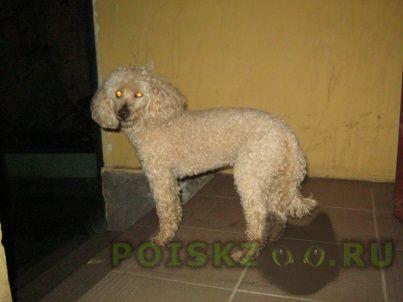 Найдена собака кобель пудел белый, . г.Санкт-Петербург