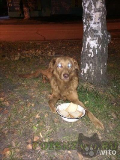 Найдена собака кобель большой молодой рыжий пес, похож на толлера г.Красноярск