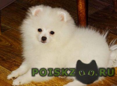 Пропала собака немецко-померанский шпиц белый г.Троицк