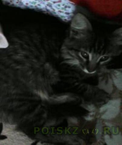 Пропал кот сибирский полукровка.5 месяцев. г.Тольятти