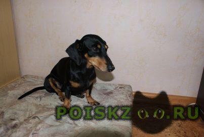 Найдена собака такса г.Новосибирск