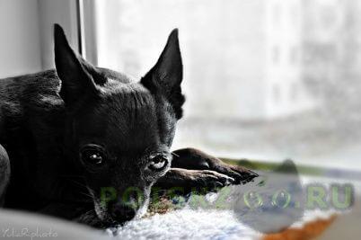 Пропала собака кобель потерялась собака той-терьер г.Новосибирск