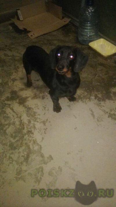 Найдена собака такса г.Тула